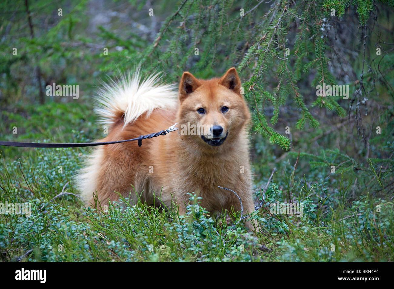 Nordic Spitz, finnische Spitz (Canis Lupus Familiaris), Vogel-Jagd verwendet. Stockbild