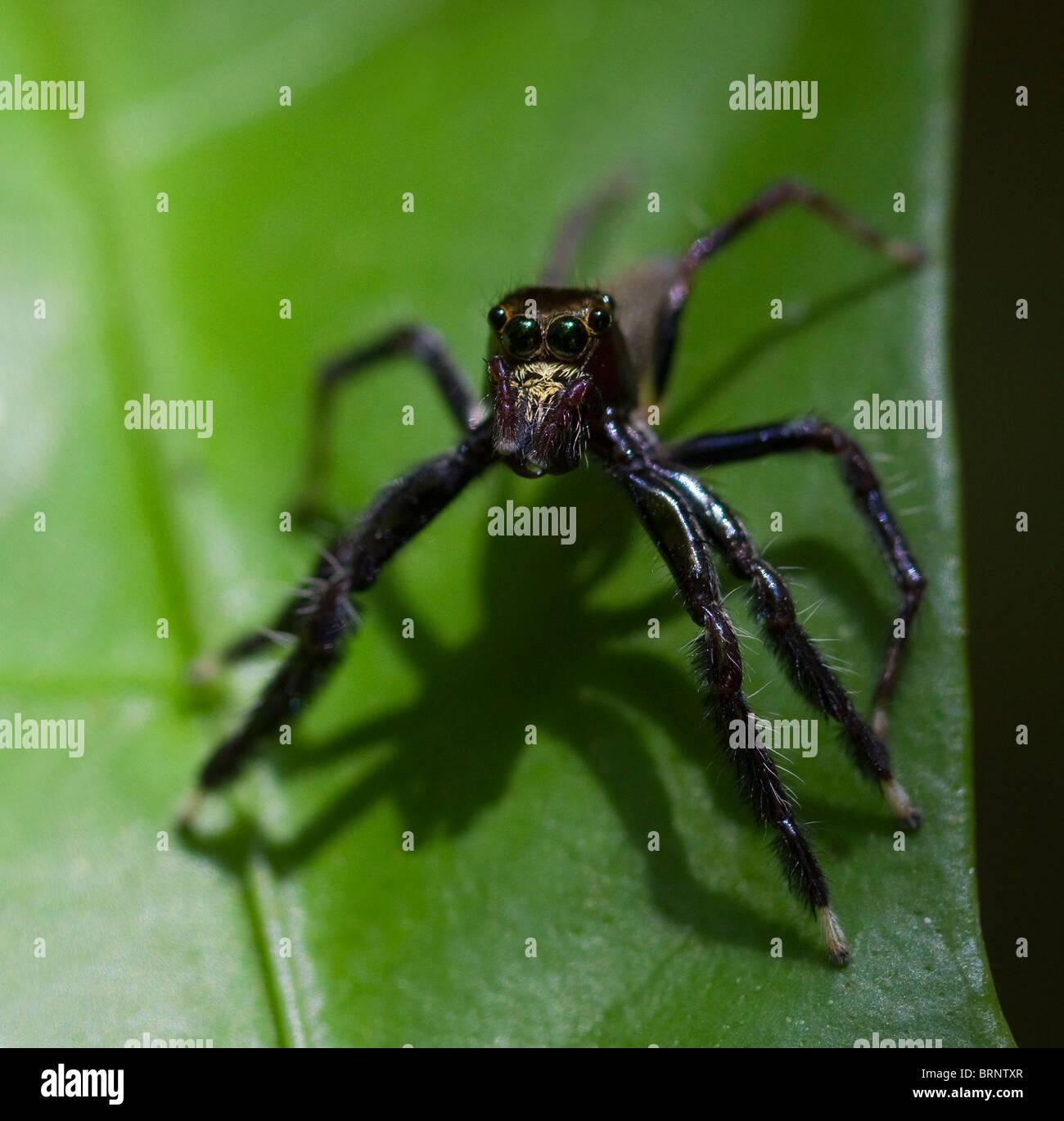 JUMPING SPIDER (Salticidae Familie) Khao Sok Nationalpark, Süd-Thailand. Stockbild