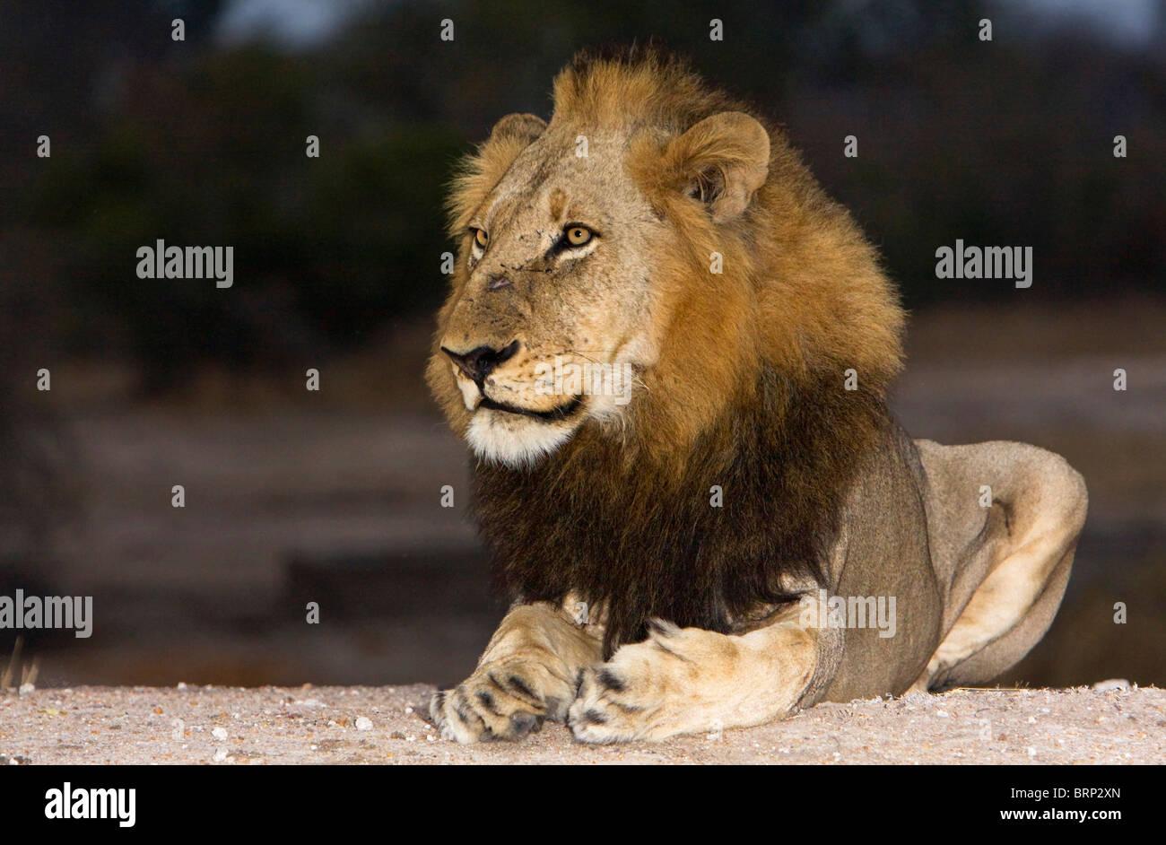 Seitenansicht eines Löwen ruhen auf dem Boden in der Abenddämmerung Stockbild
