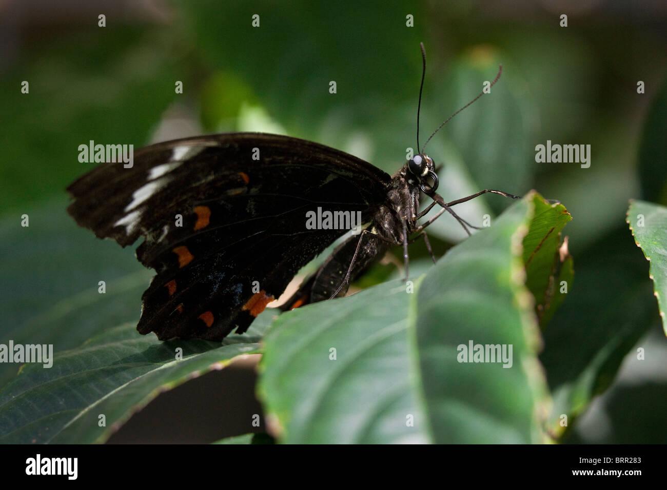 Obstgarten-Schmetterling Stockbild