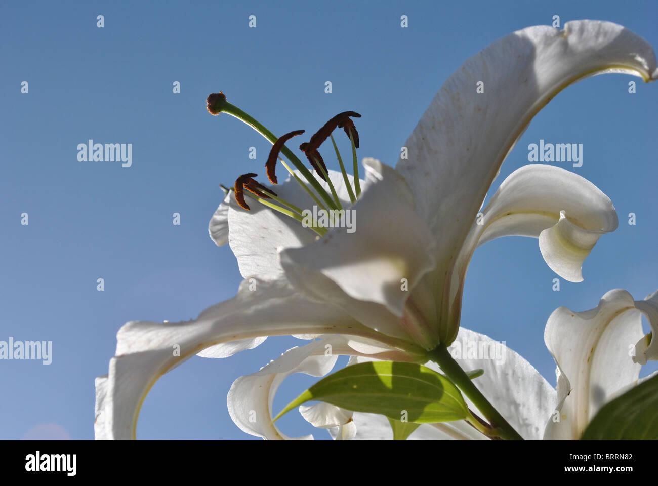 hautnah weiße Lilien Stockbild