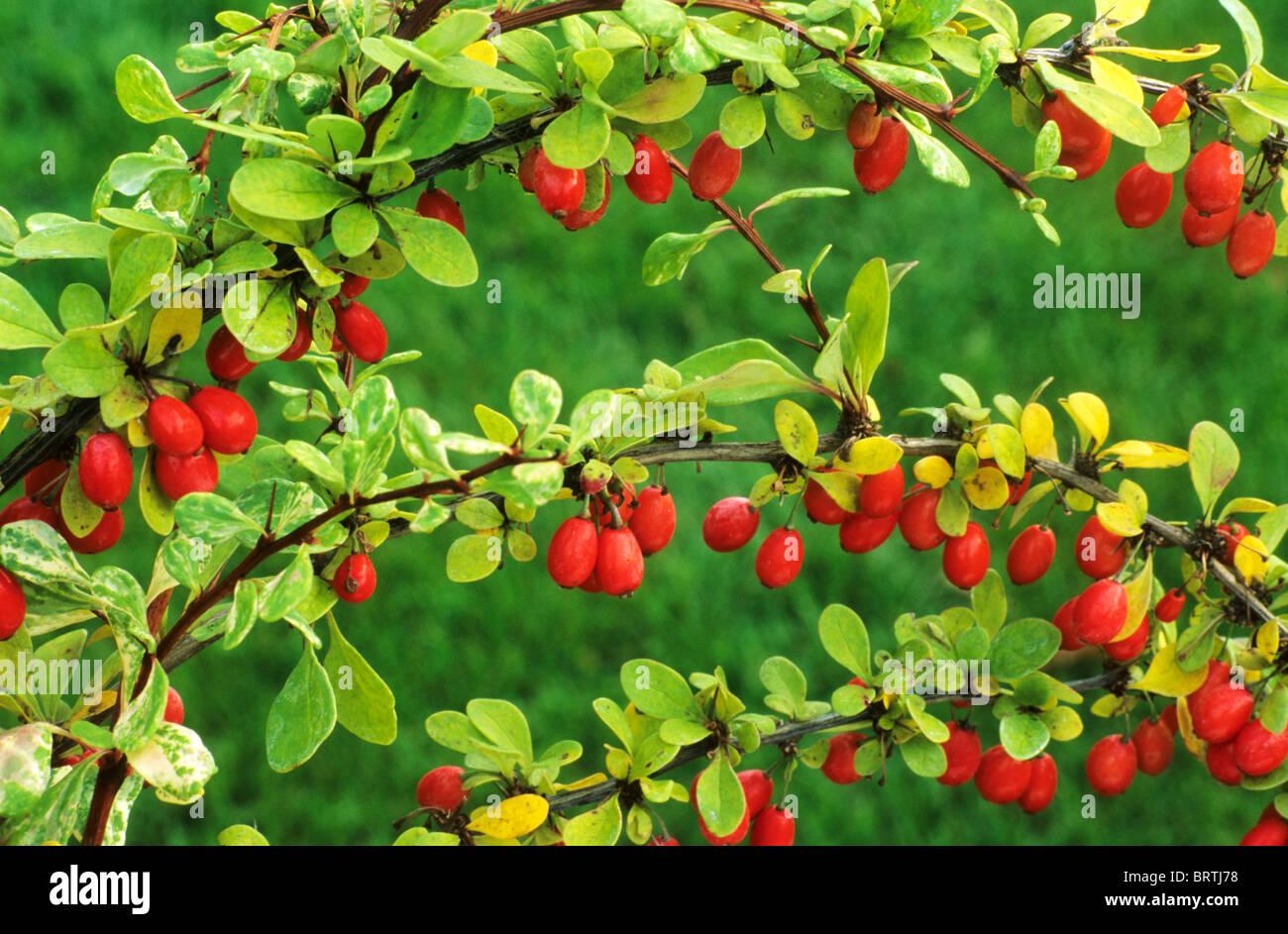 Berberis Thunbergii 'Baum' Berberitze rote Beere Beeren Frucht Früchte Garten Pflanze Pflanzen Berberitzen Stockbild