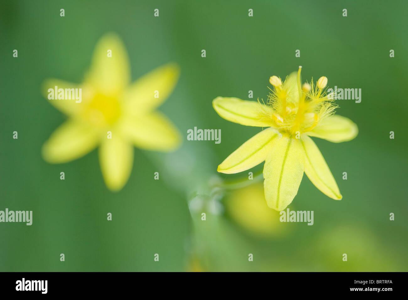 Gelb blühende Form von Bulbine Frutescens in Makro mit glatten grünen Hintergrund Stockbild