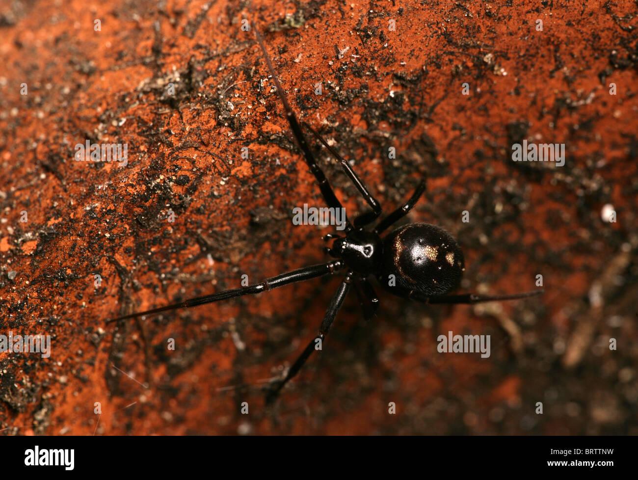 Black widow stockfotos black widow bilder alamy for Schwarze blumentopfe
