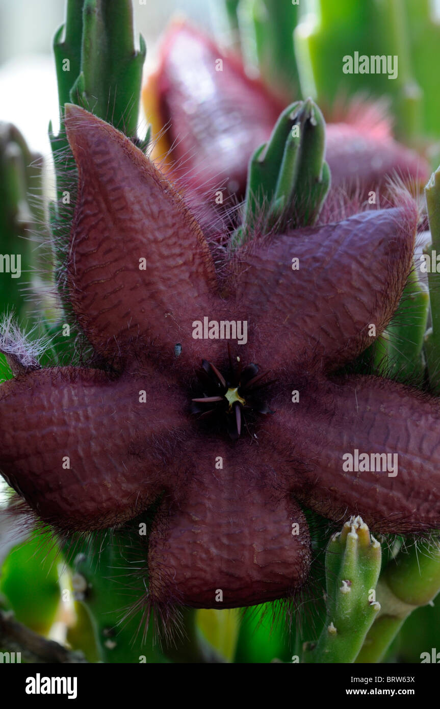 Stapelia Gigantea Syn Synonym Stapelia Nobilis oder Stapelia Marlothii AAS Kröte Pflanze Blume übel riechende Stockbild