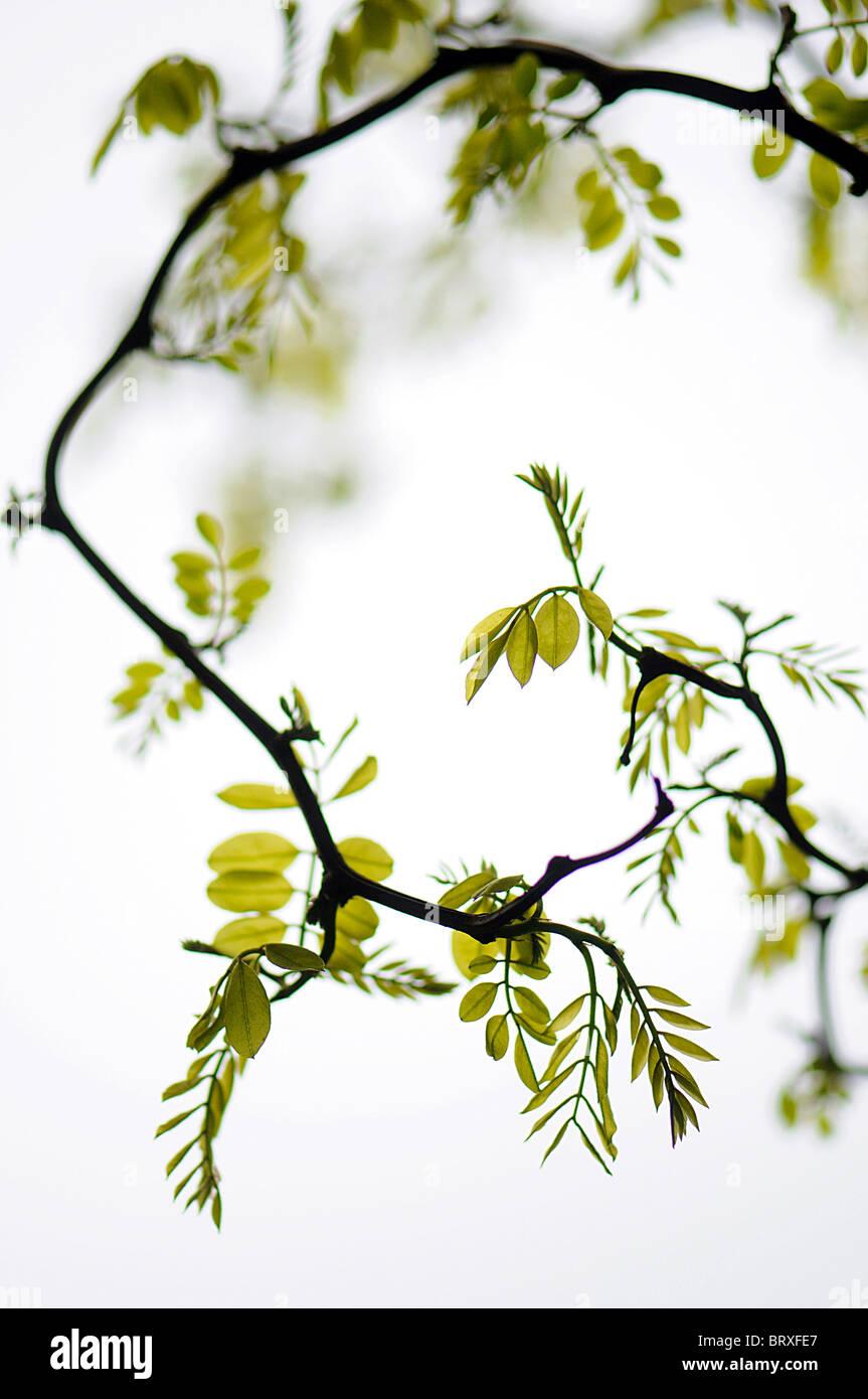 Ein überhängender Zweig aus Robinie Baum - Robinie mit zarten grünen Laub und weichen Hintergrund Stockbild