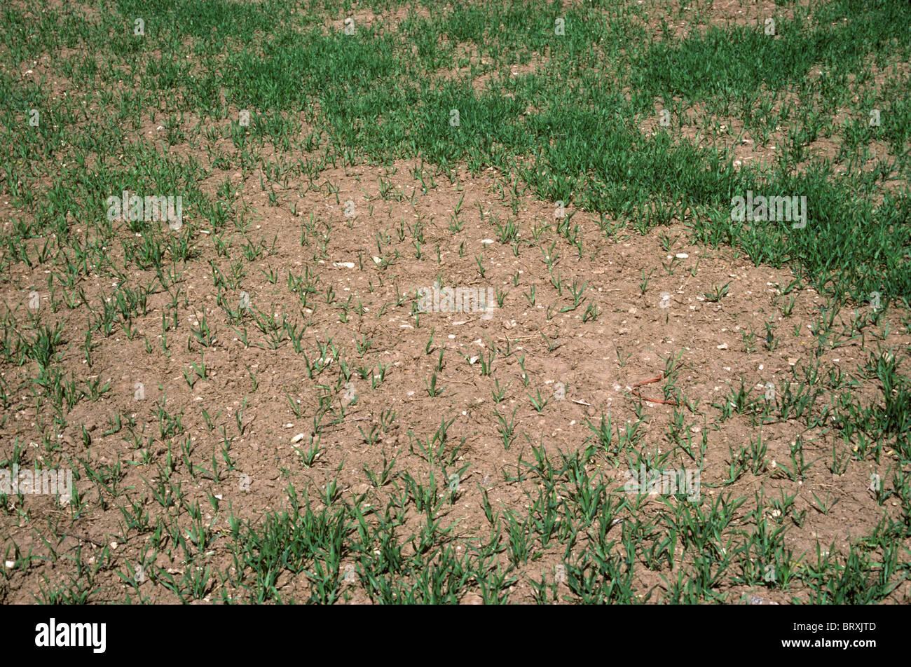 Lückenhaft Frühling Gerste Ernte verursacht durch schlechte Keimung Stockbild