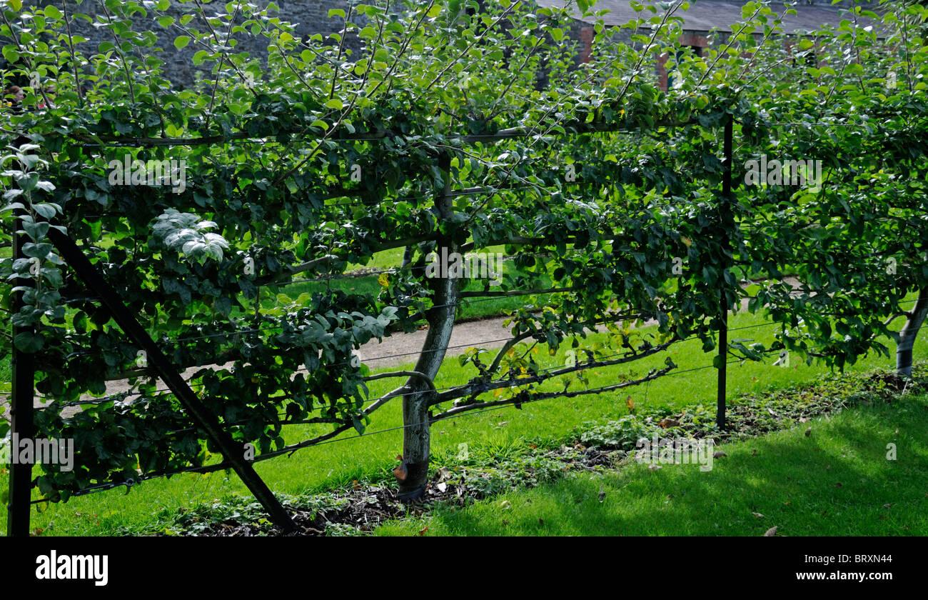 Spalier Obstbaum Stockfotos Spalier Obstbaum Bilder Alamy