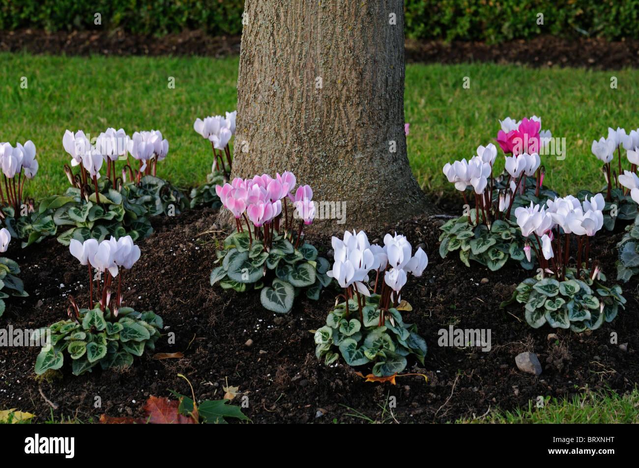 cyclamen hederifolium rosa wei e blumen unter unter einem baum voranbau garten gartenarbeit. Black Bedroom Furniture Sets. Home Design Ideas