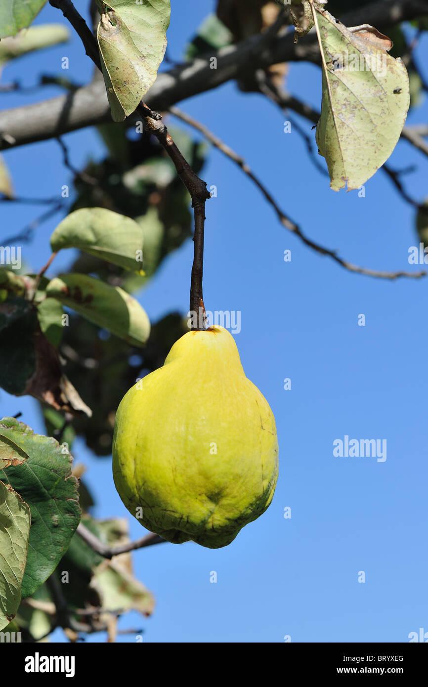 Quitte Baum - Quitte (Cydonia Oblonga Piriformis - Cydonia Vulgaris) Reife Frucht in der Baum - verwendet, um Konfitüre Stockbild