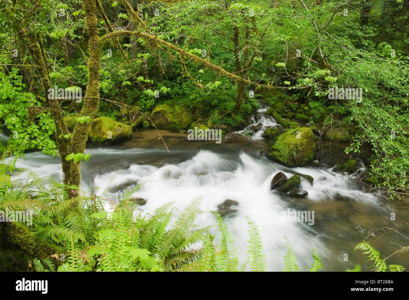 Gemäßigten Regenwald, Mellicoma Fluss, Coos County, Oregon, Mai Stockbild