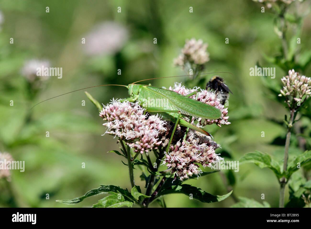 Eine große grüne Bush-Cricket (Tettigonia Viridissima) und eine Hummel kämpfen auf einer Hanf-Agrimony Stockbild