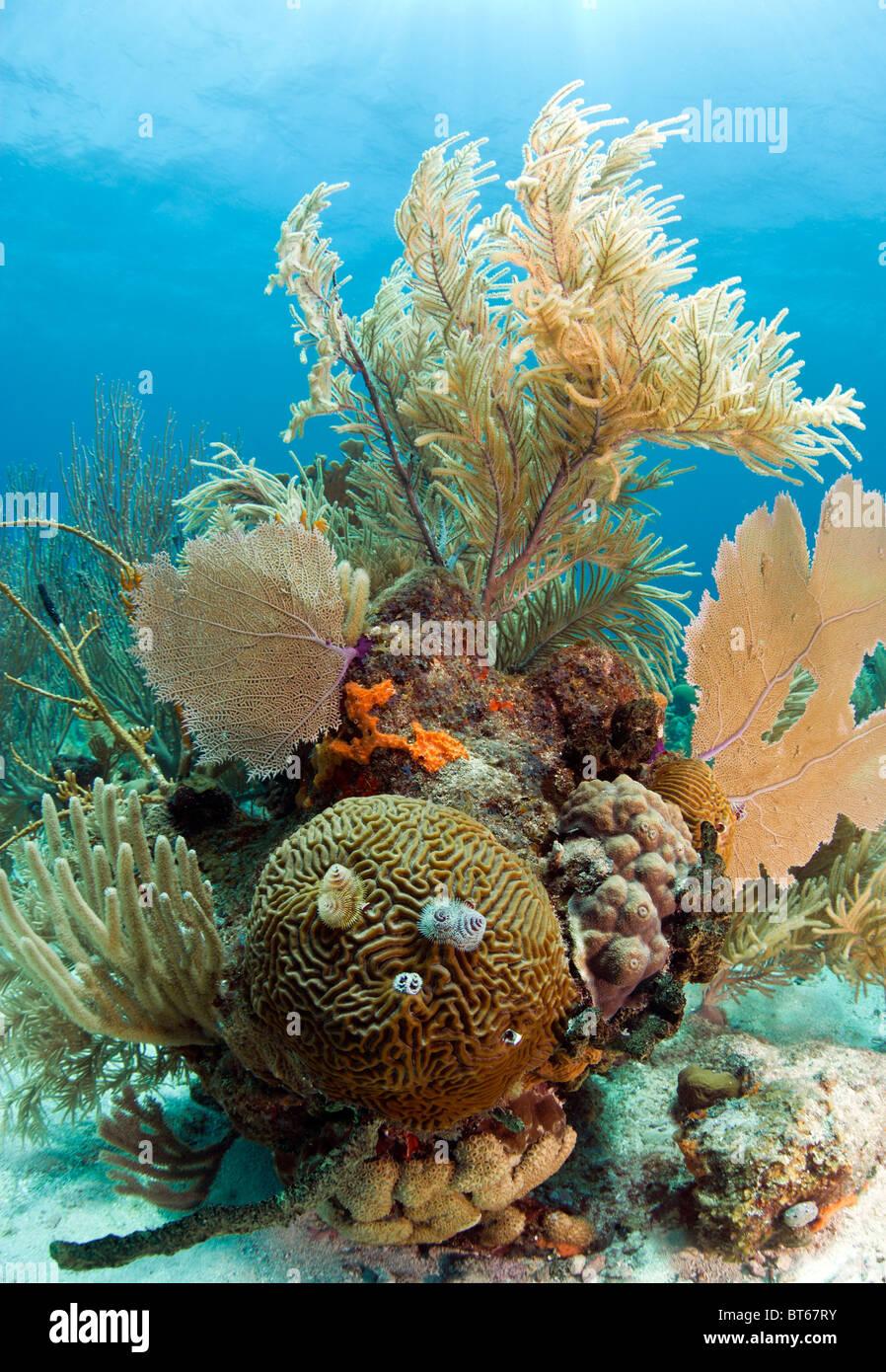 Korallenriff vor der Küste von Roatan Honduras mit Hirnkoralle und Weihnachtsbaum Würmer Stockbild