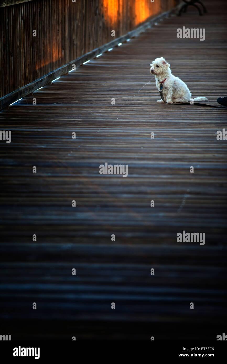 Weißer Hund auf dock Stockbild