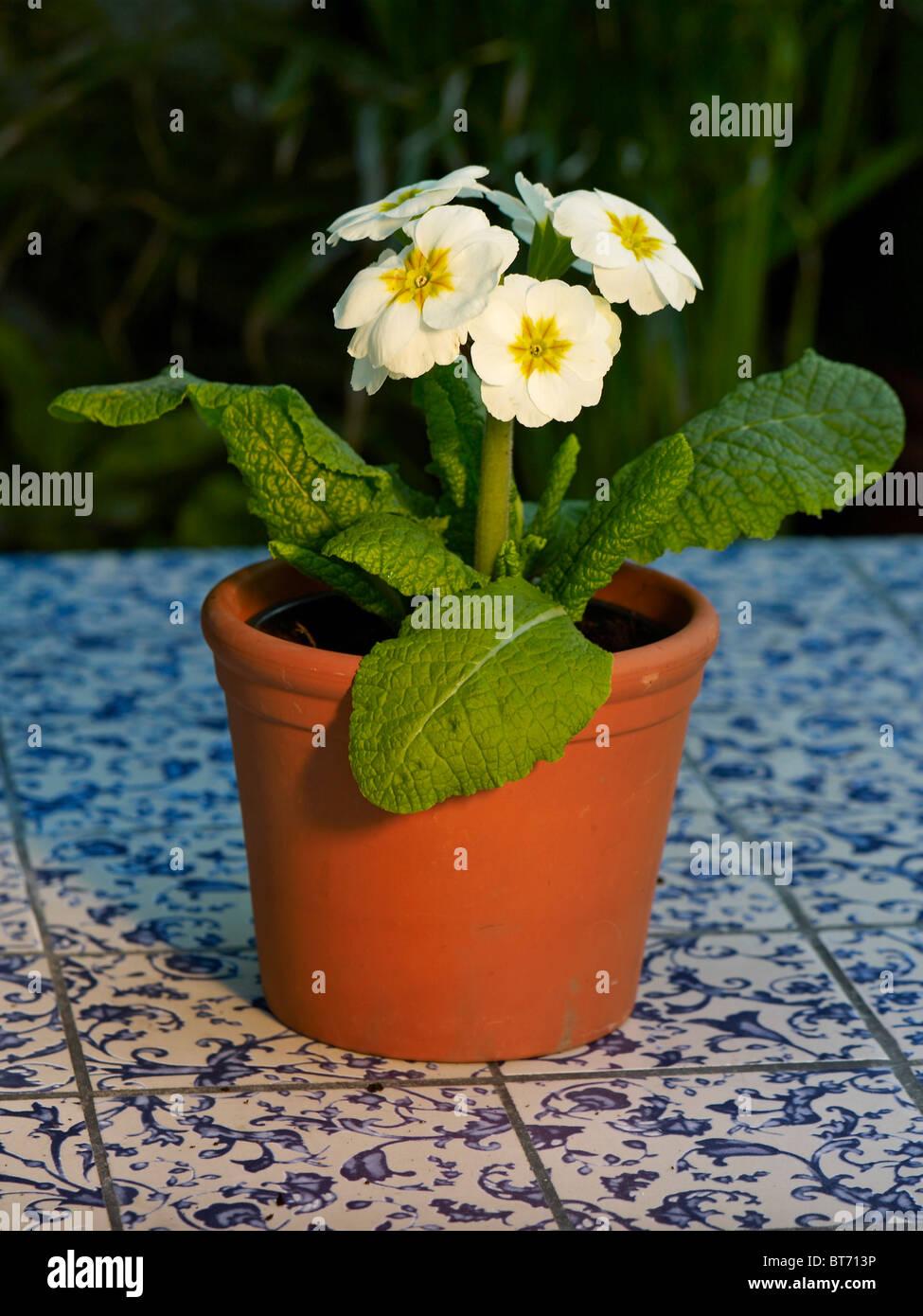 Bluhende Topfpflanzen Primula Polyanthus Gruppe In Einem