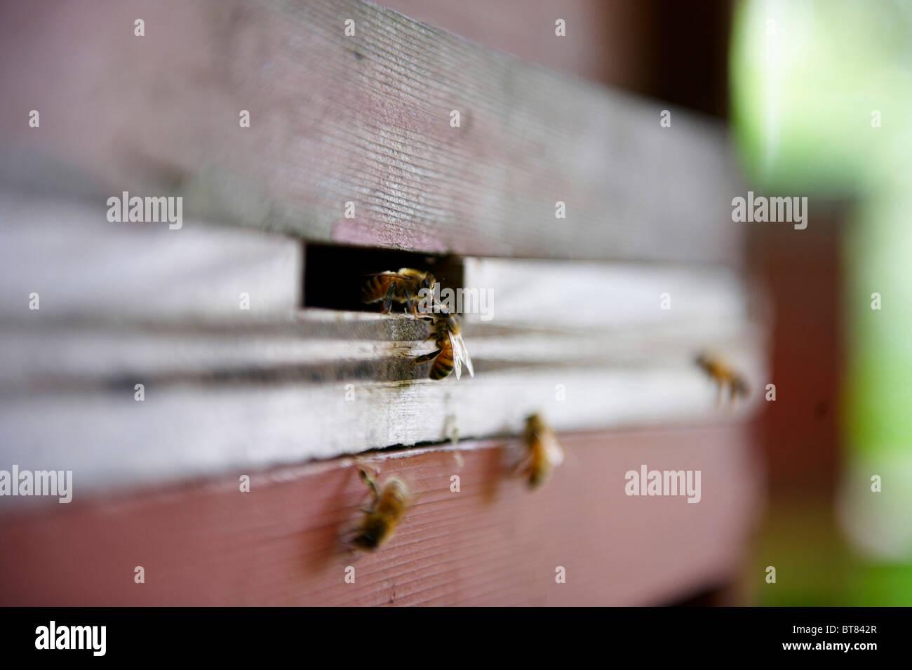 2 Honigbienen am Eingang zu einem Bienenstock Stockbild