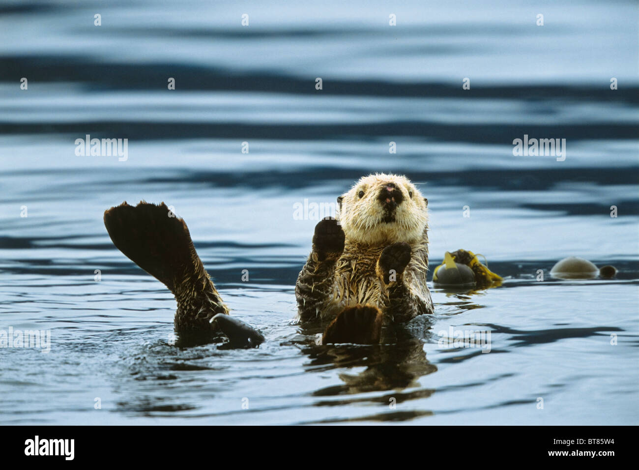 Seeotter (Enhydra Lutris), Alaska, USA Stockbild