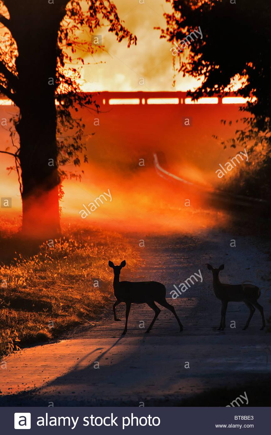 DOE und Fawn-White tail Deer überqueren einer Landstraße bei Sonnenaufgang im Nebel backlet Stockbild