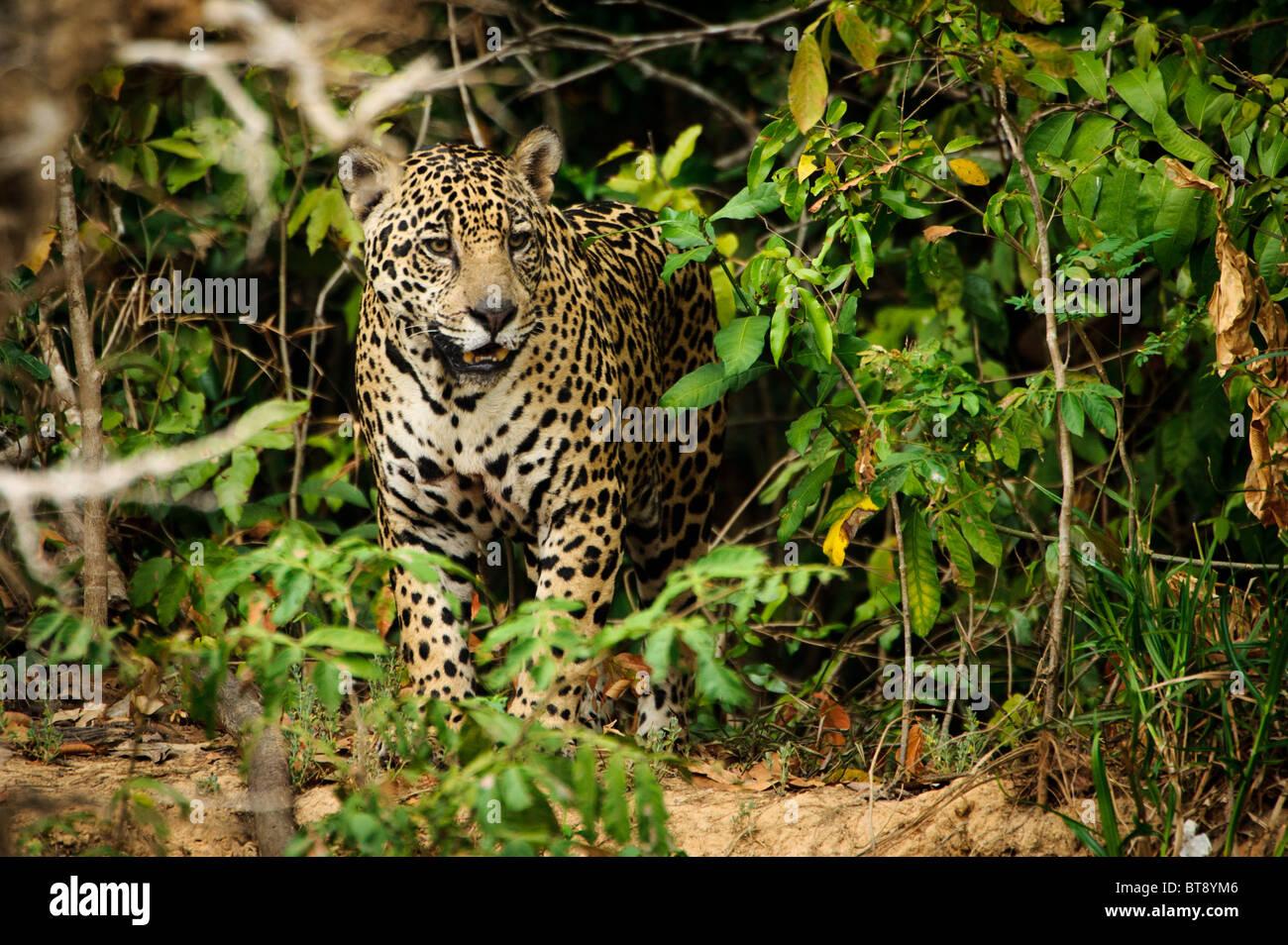 Wildes Jaguar im Pantanal Stockbild