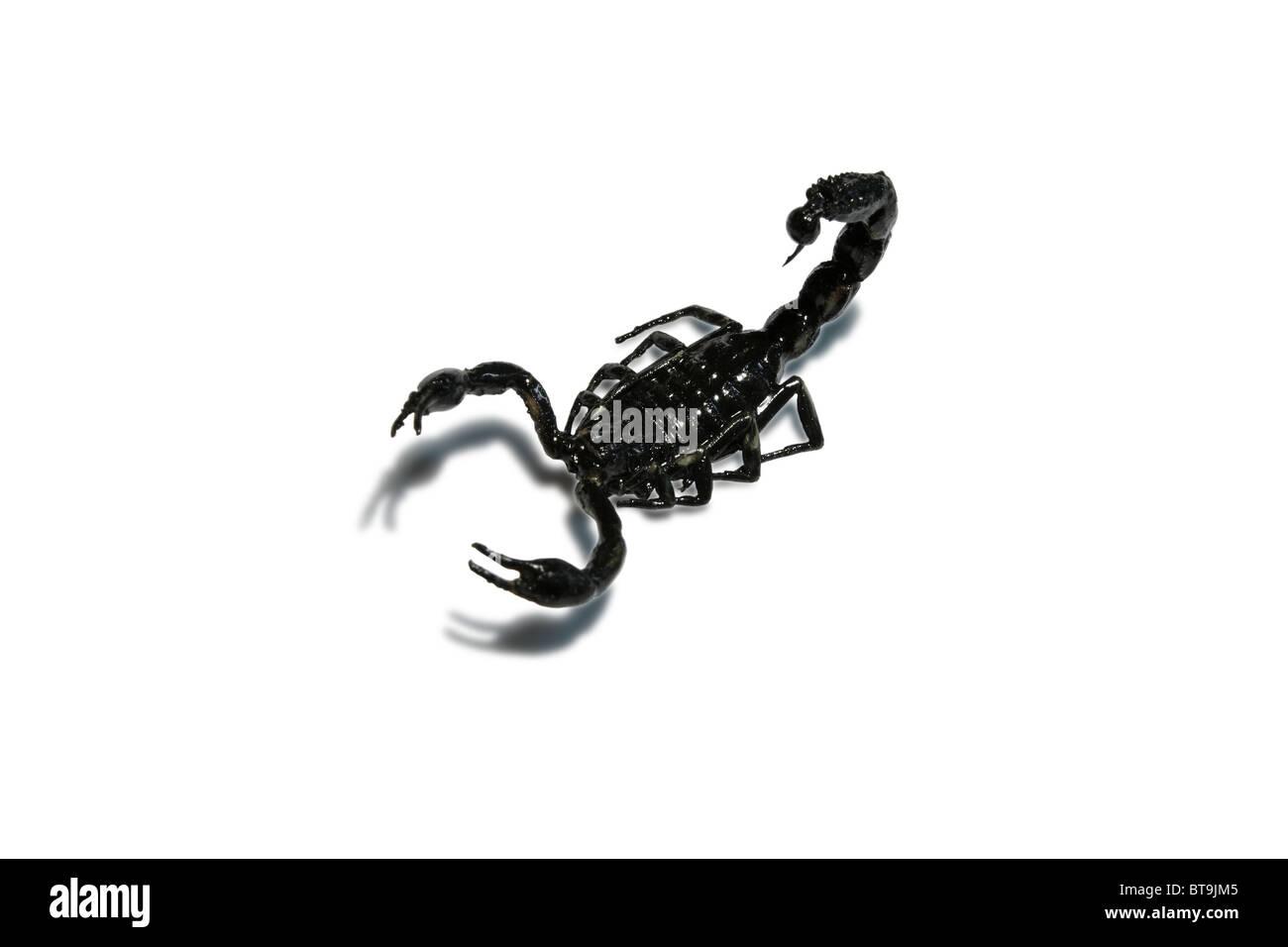 Scorpion auf weißem Hintergrund. Stockbild