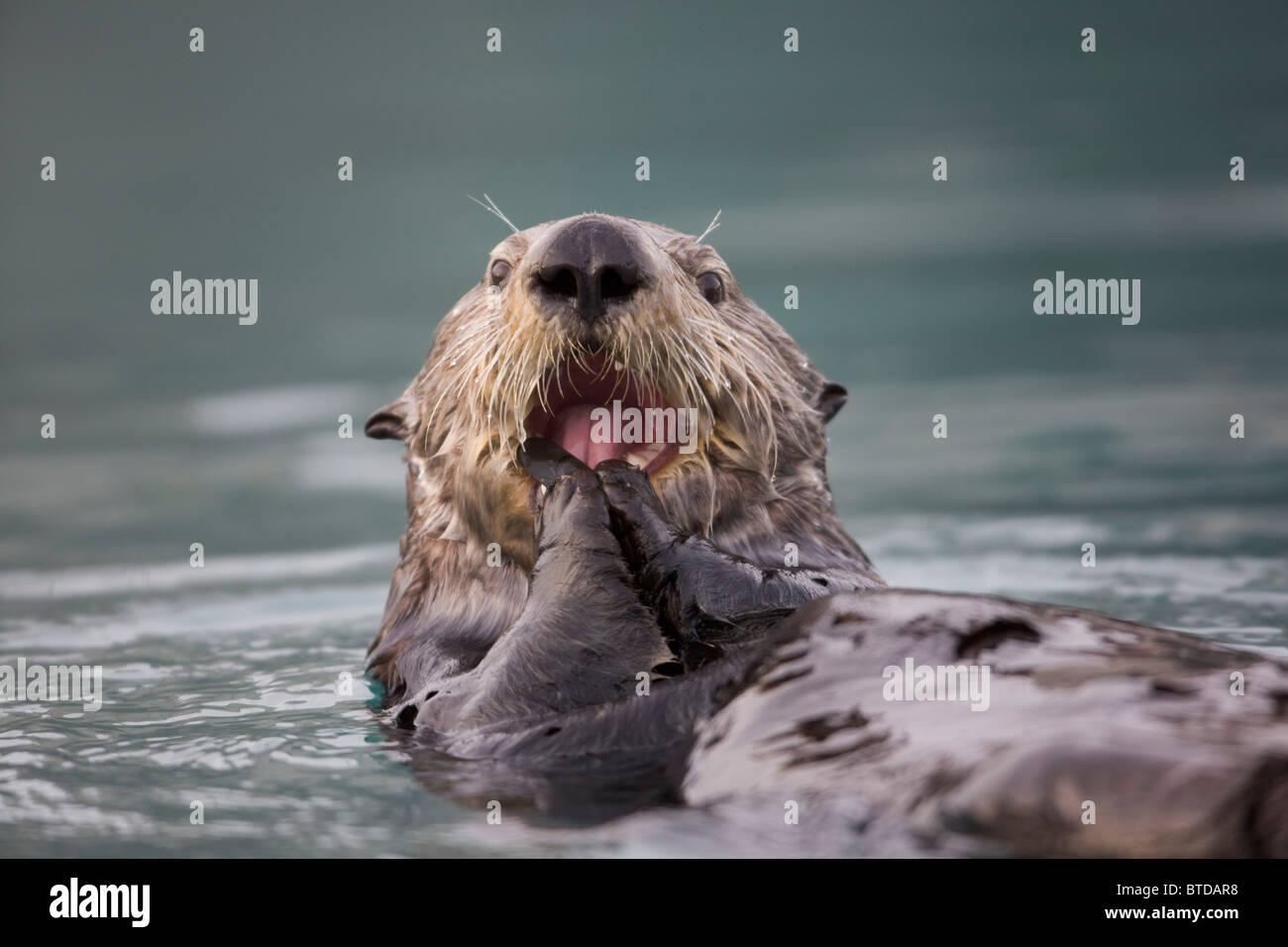 Nahaufnahme von einem Sea Otter schwimmen auf dem Rücken während des Essens einer Muschel im Prince William Stockbild