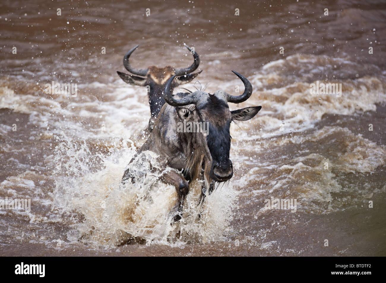 Wanderung der Gnus durchqueren die Mara River.Masai Mara Nationalreservat. Kenia Stockfoto