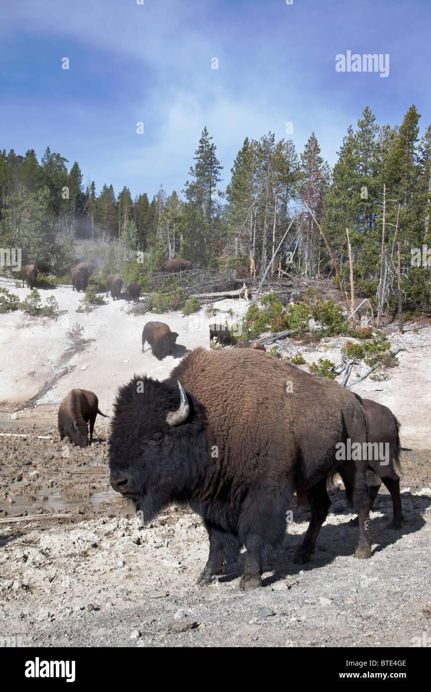 Amerikanischer Bison - schützende männlich und Familiengruppe am Yellowstone Mud Volcano während Stockbild