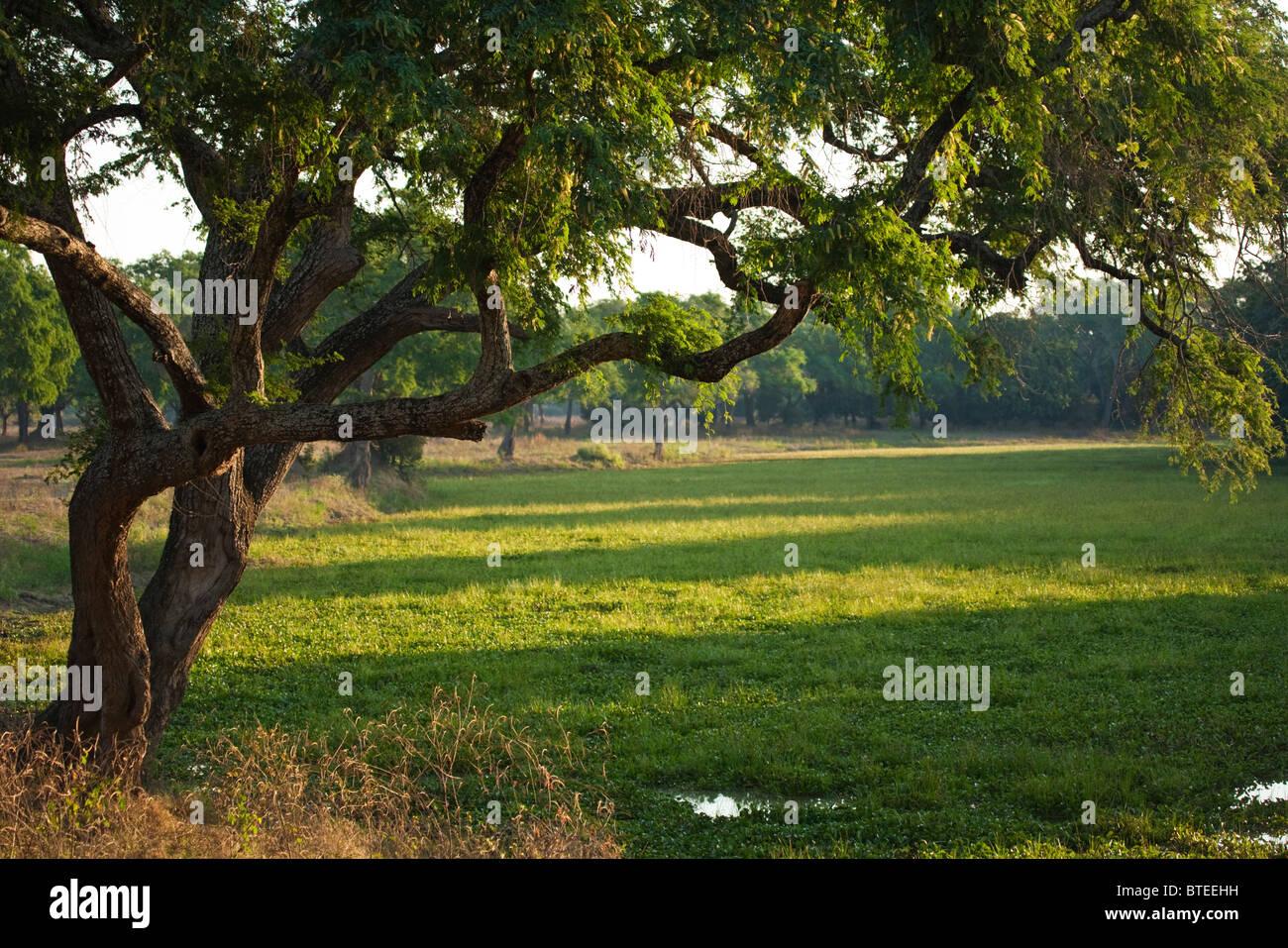 Reizvolle Aussicht auf einen einsamen Albida Baum am Rande eines saisonalen Pan in üppigen grünen Schilfen Stockbild