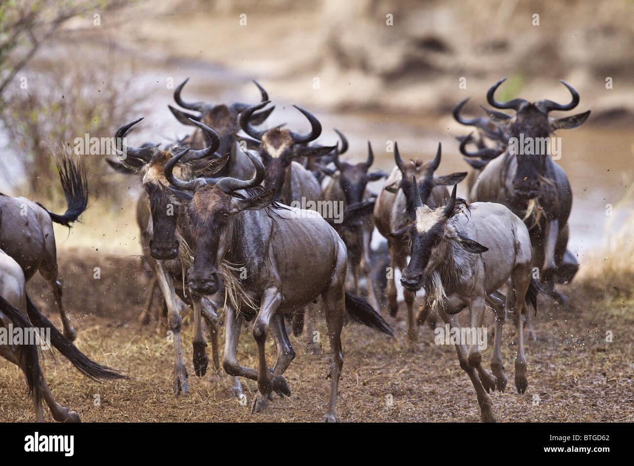 Gnus läuft nach Überquerung des Mara Flusses. Dies ist Teil der jährlichen Migration. Masai Mara Stockbild