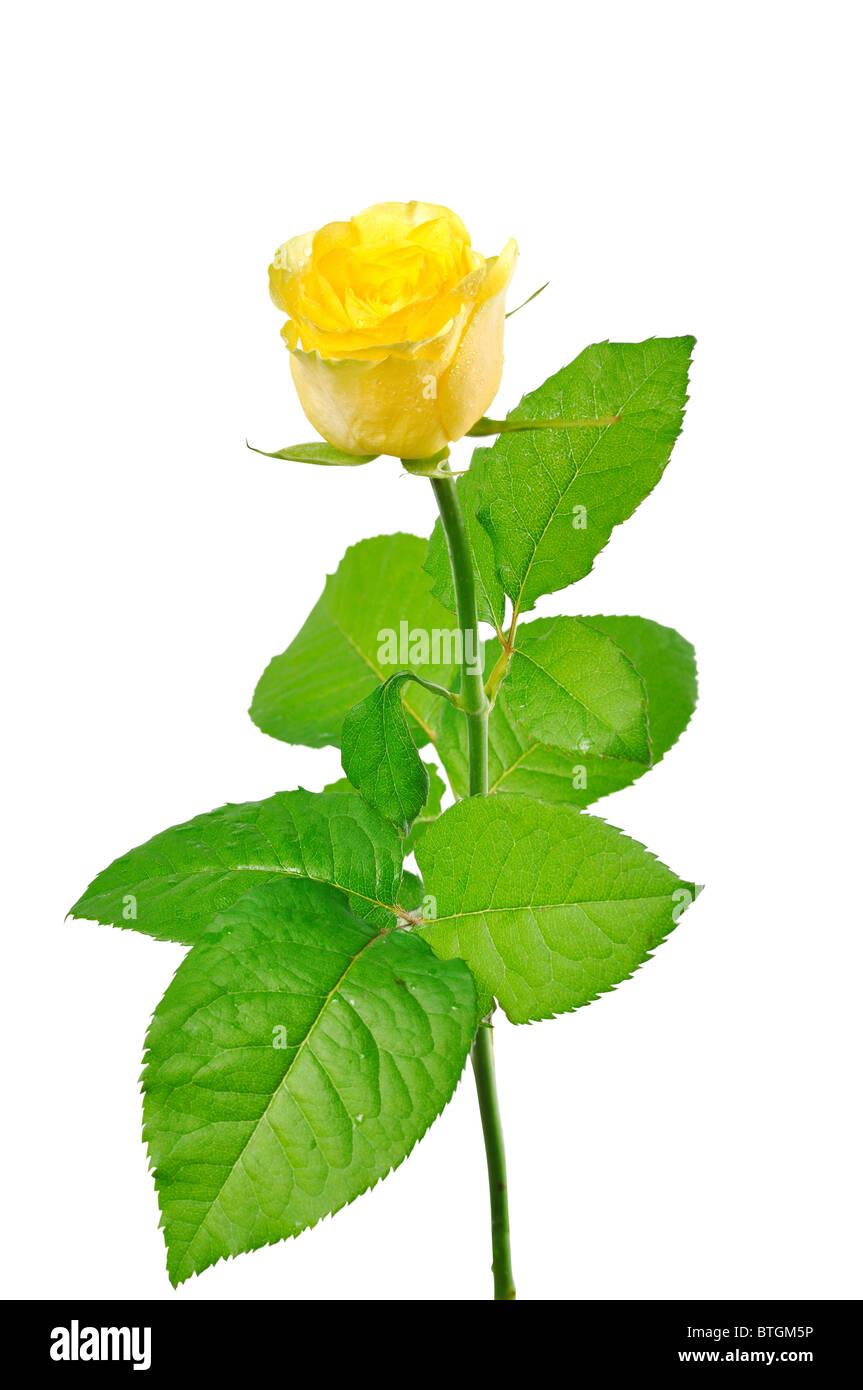 eine gelbe rose mit grünen Blättern auf einem weißen Hintergrund Stockbild