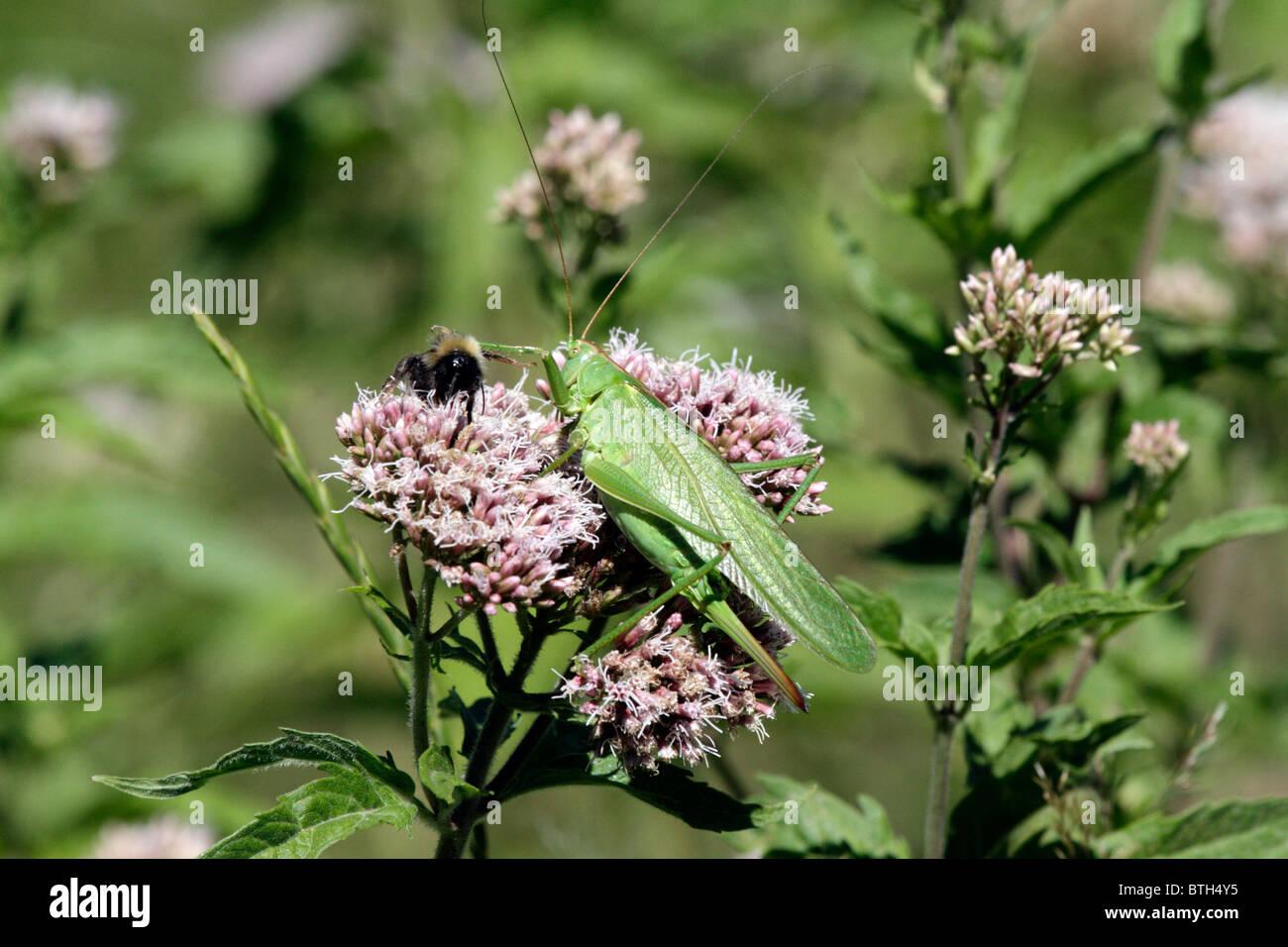 Große grüne Bush-Cricket, Tettigonia Viridissima und Hummel Fütterung auf eine Hemp Agrimony-Blume Stockbild
