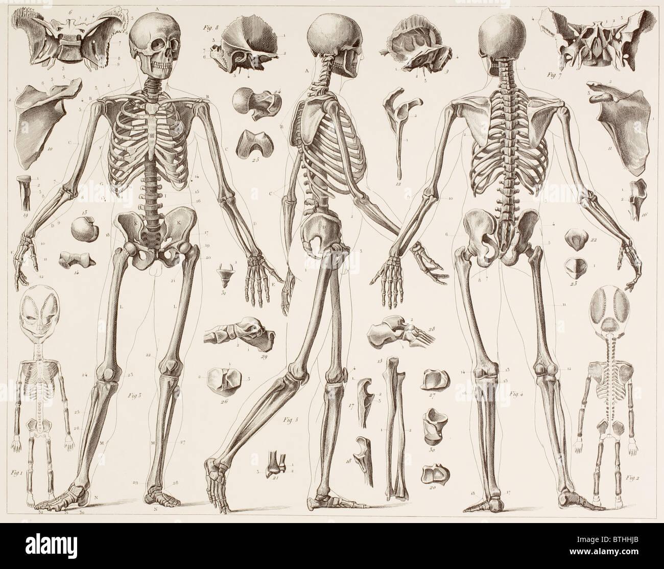 Skelett eines ausgewachsenen Menschen. Stockbild