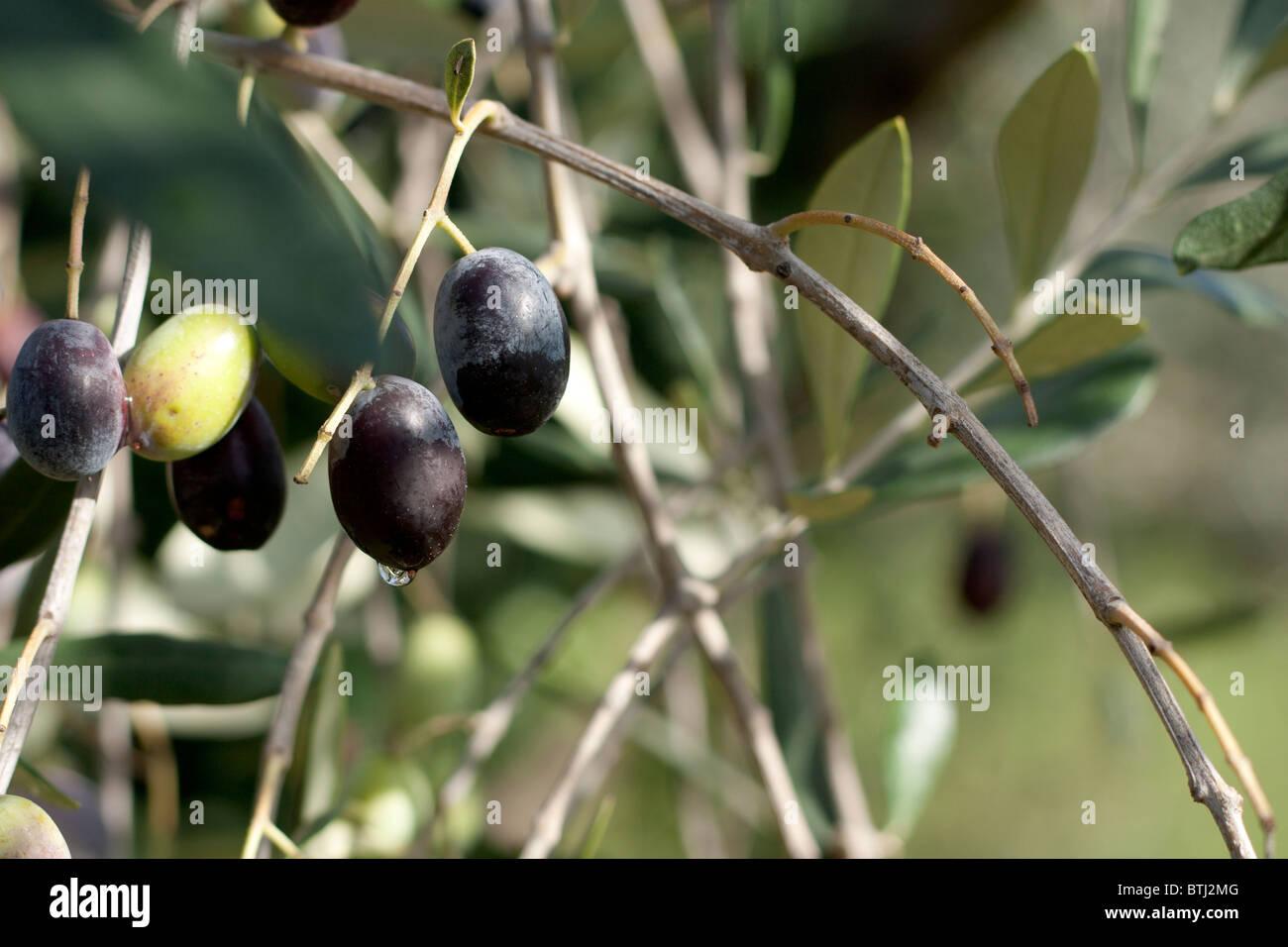 Zweig mit Oliven Stockbild