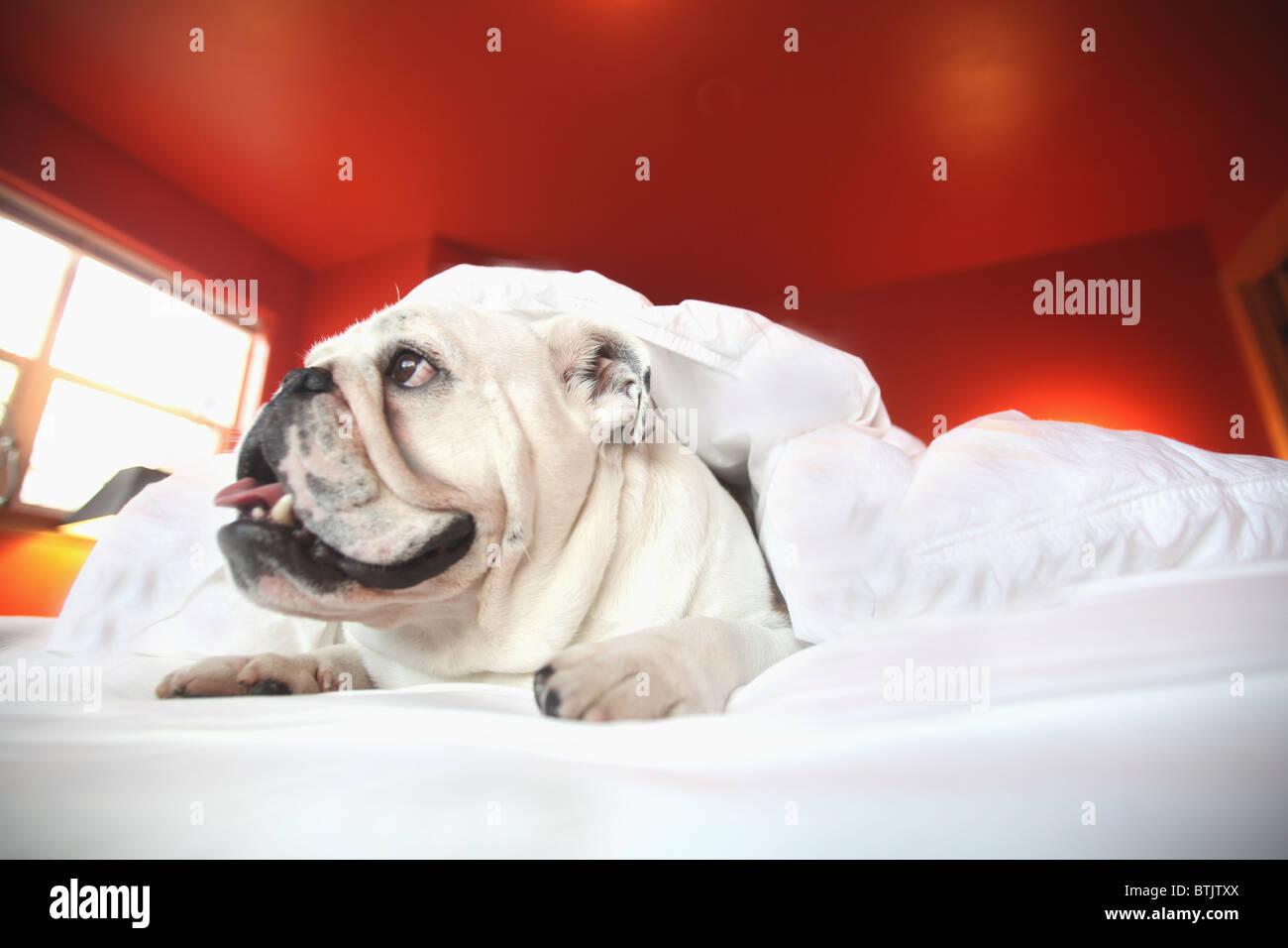 glücklich Stier Hund Bett unter Handauflegung deckt Stockbild
