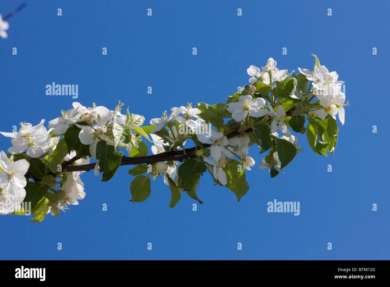 Blühender Zweig der Apfelbaum. Moskau, Russland. Stockbild