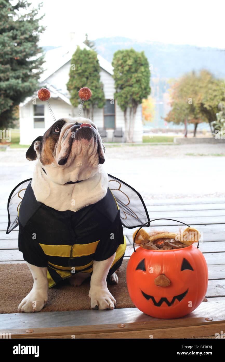 Stier Hund tragen Bumble Bee Halloweenkostüm als Eingangstür des Hauses Veranda Stockbild