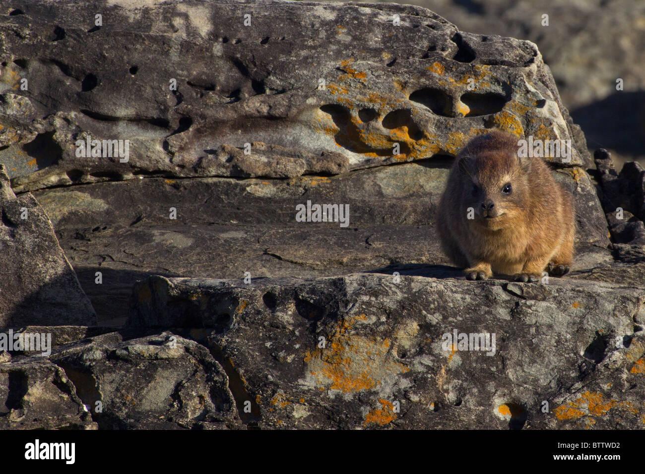 Cape Hyrax auf Flechten bedeckten Felsen, Tsitsikamma National Park, Südafrika Stockbild