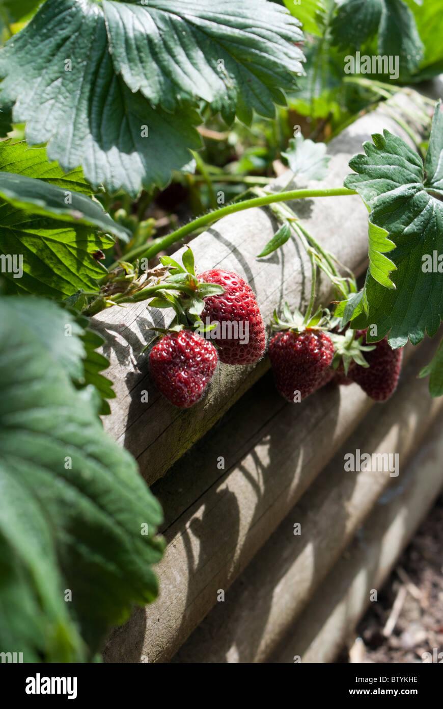 Erdbeeren Wachsen In Einem Hochbeet Stockfoto Bild 32570202 Alamy