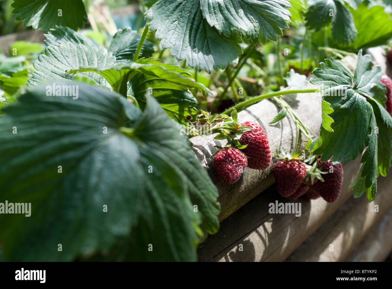Erdbeeren Wachsen In Einem Hochbeet Stockfoto Bild 32570330 Alamy