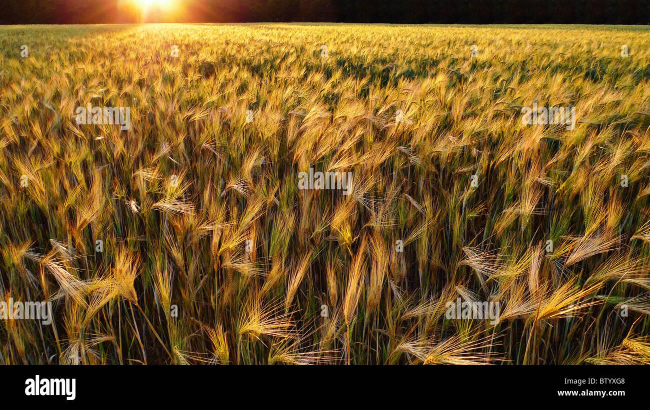 Sonnenuntergang über einem goldenen Weizenfeld. Stockfoto