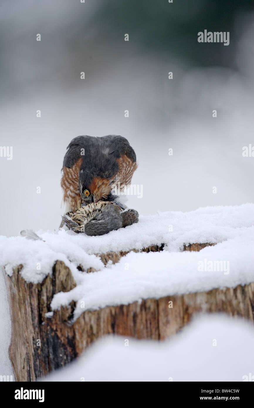 Sperber (Accipiter Nisus) Männchen ernähren sich von der Wacholderdrossel im Schnee Stockfoto