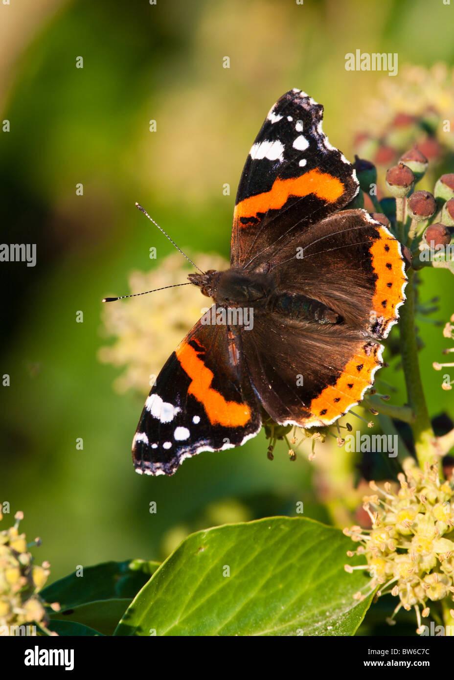 Butterfly Red Admiral (Vanessa Atalanta) Stockfoto