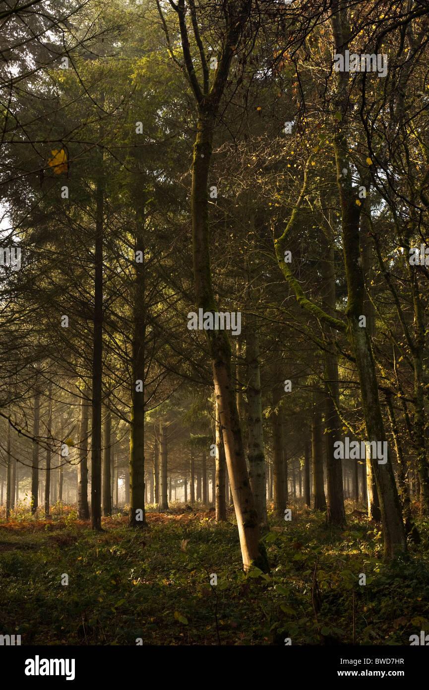 Wald im Westonbirt Arboretum an einem nebligen, Herbst Tag Stockbild