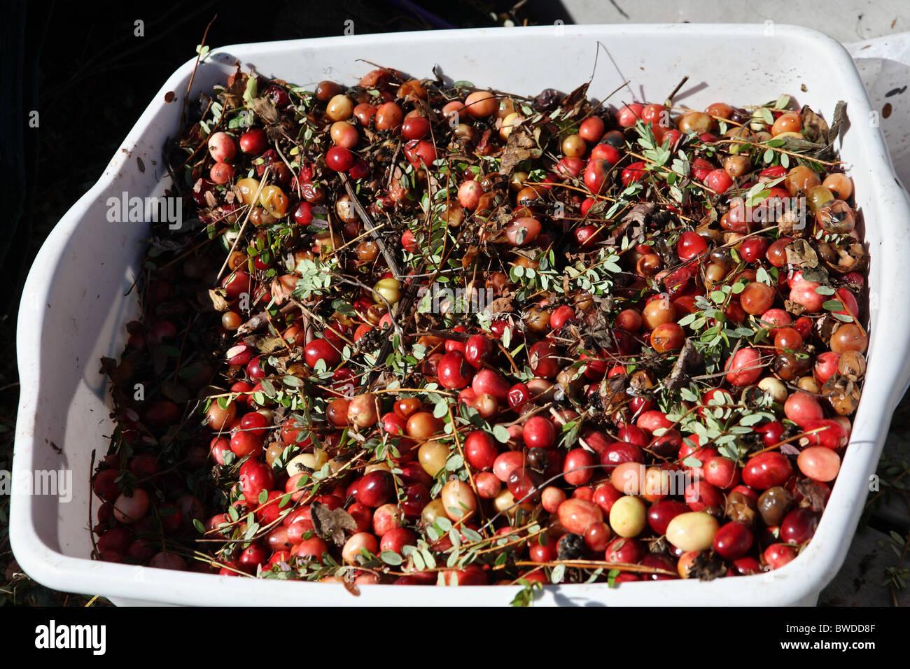cranberries frisch essen mittagessen vorbereiten frischer salat mit cranberries mais tuerkische. Black Bedroom Furniture Sets. Home Design Ideas