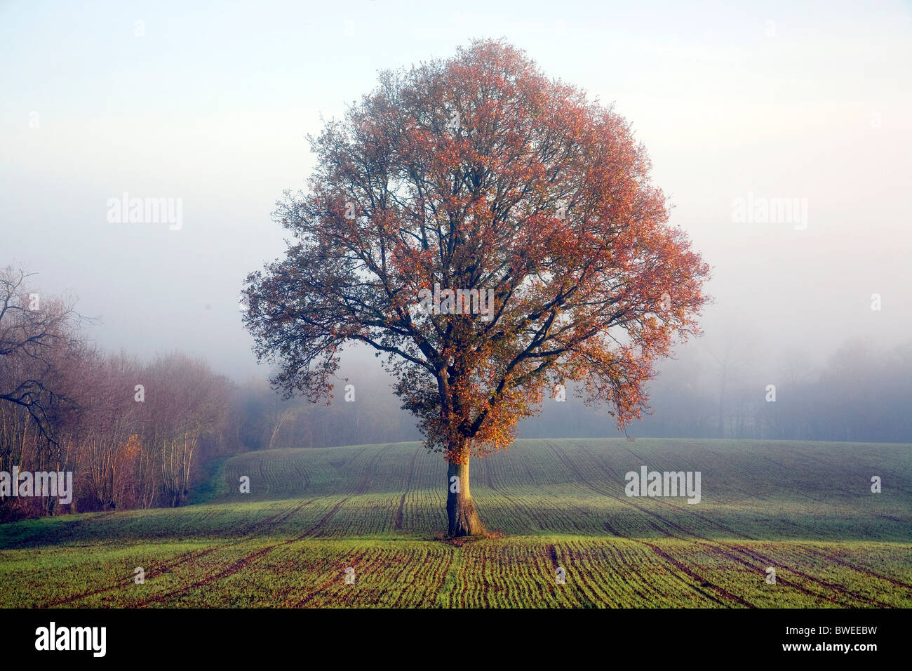 Eiche im goldenen Herbst farbige Blatt am nebligen Morgen in neu genähte Weizenfeld in der Weald of Kent UK Stockbild