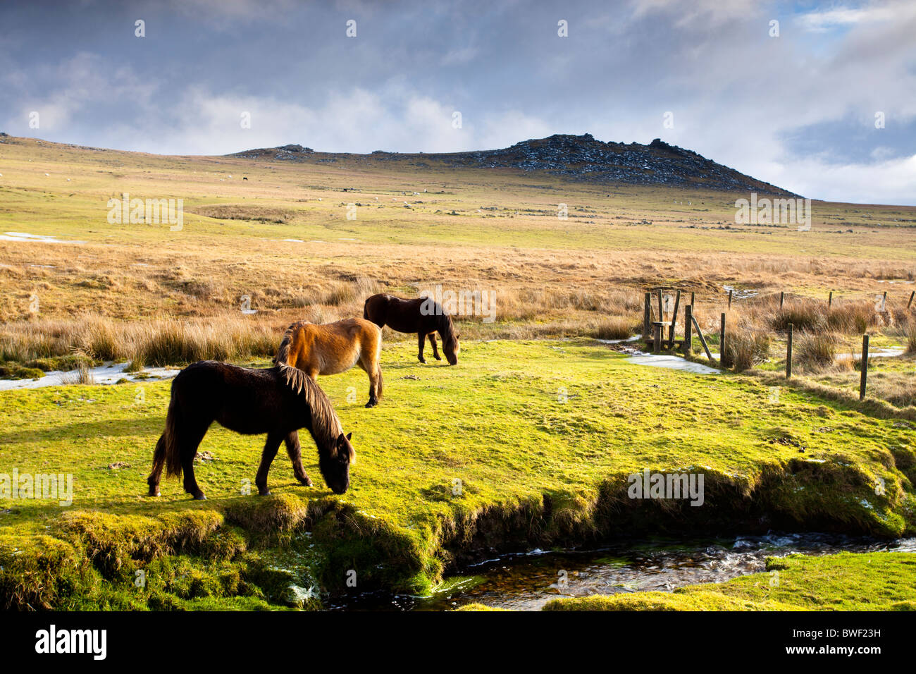 Pferde auf Bodmin Moor mit groben Tor im Hintergrund. Stockfoto