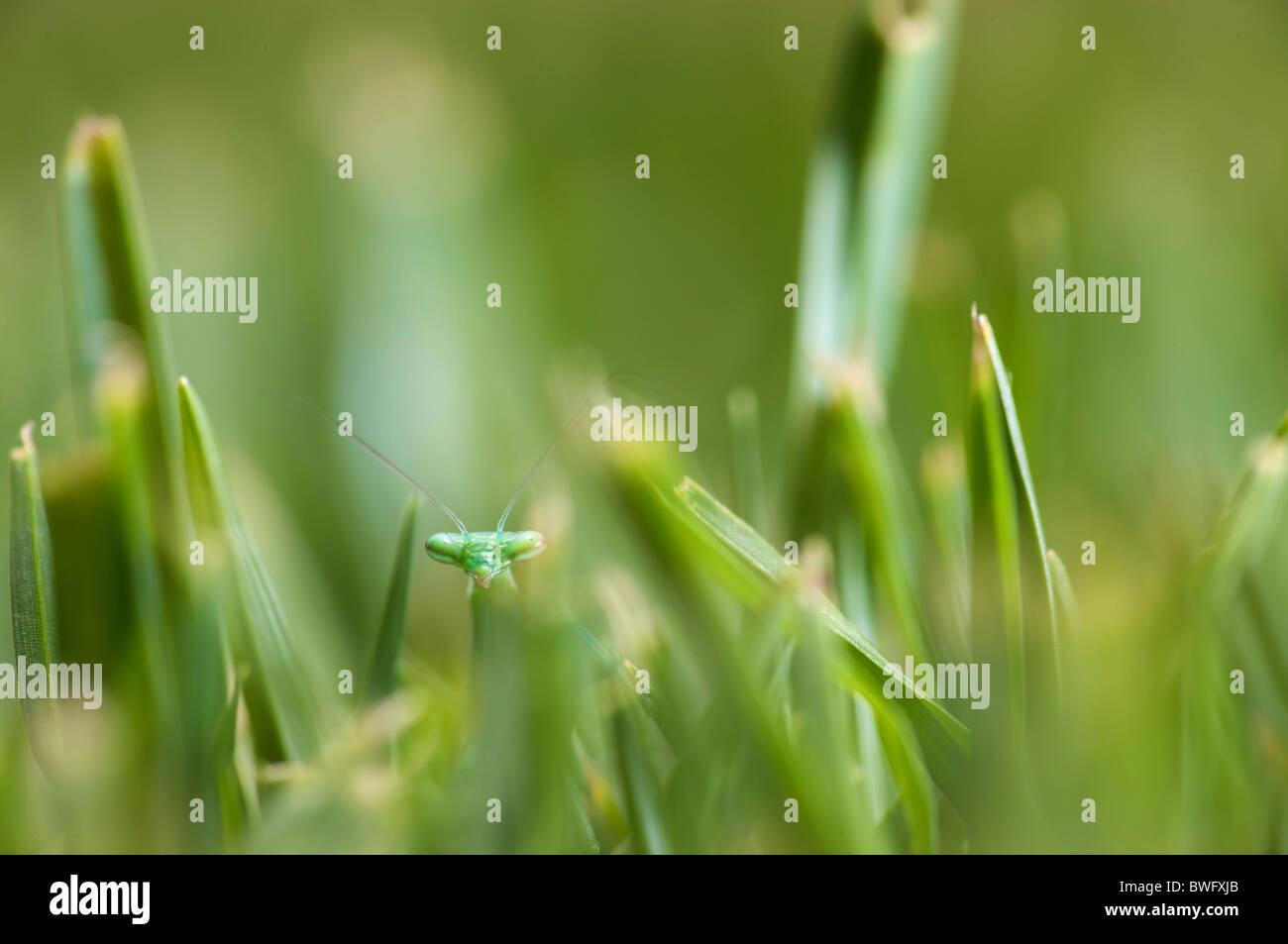 Mantis (Mantodea) Gras, Walter Sisulu Botanical Gardens, Johannesburg, Südafrika Stockbild