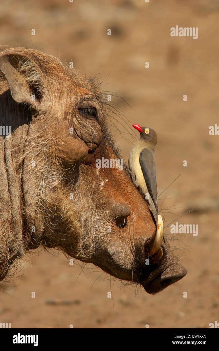 Ein Oxpecker auf einem Warzenschweine Schnauze, Isimangaliso, Kwazulu-Natal, Südafrika Stockbild