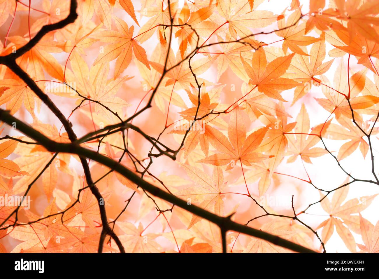 schönen Ahorn Baldachin im Herbst kurz vor dem Mauerfall - Fine Art-Fotografie, Jane Ann Butler Fotografie Stockbild