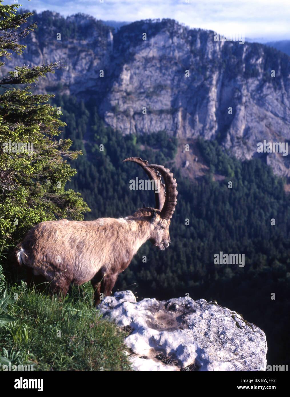 Capricorn Steinbock Creux du van Kanton Neuenburg Schweiz Europa Stockbild